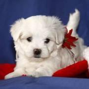 Cute Msltese puppies