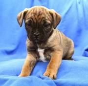 Jug puppies for sale