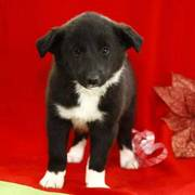 Beautiful black border collie puppies