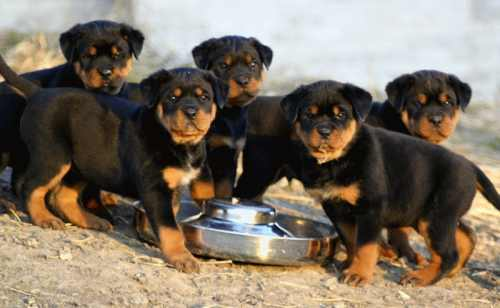 Rottweiler Puppies for Sale - Dogs for sale, puppies for sale