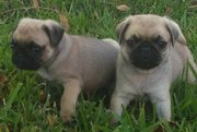 VET CHECKED AND VACCINATED PUG PUPS NOW READY