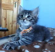 Tica Registered Siberian Kittens