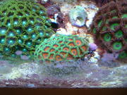 £5 CORAL FRAGS + Cheap Frag Packs (40+ species)