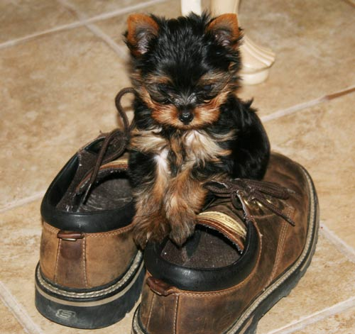 Tea cup Yorkie puppies now available - Edinburgh - Dogs for sale,